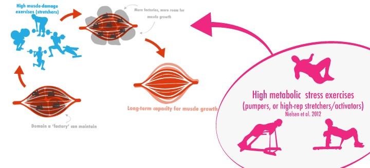 Pompoefenigen spiercelkernen groei